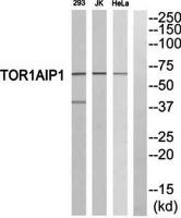 Western blot analysis of extracts from 293 cells, Jurkat cells and HeLa cells using TOR1AIP1 antibody