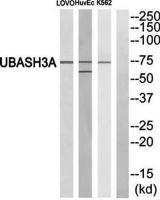 Western blot analysis of extracts from LOVO cells, HuvEc cells and K562 cells using UBASH3A antibody